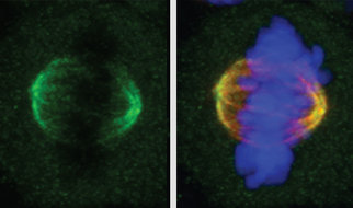 Scientists uncover an unexpected role for the NSL complex during cell division