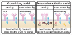 <p><strong>The two models of receptor activation in B cells at a glance</strong></p> <p><strong>Left:</strong> The cross-linking model does not explain how cross-linking activates the B-cell receptors after the binding of monovalent antigens.</p> <p><strong>Right:</strong> The dissociation-activation model by Yang and Reth (2010) assumes that after binding of monovalent antigens, a specific arrangement of B-cell receptors is disrupted and leads to the opening and activation of the receptor. The study by Volkmann et al. (2016) also concluded that the opening of the receptor by monovalent antibody fragments requires the presence and activity of the protein Lyn.</p>