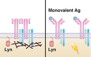 How B cells sense monovalent antigens
