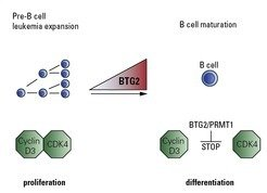 Fig. 2: An up-regulation of the protein BTG2 stops the uncontrolled expansion of cancerous pre-B cells. BTG2 acts in concert with the protein PRMT1. Once PRMT1 is activated by BTG2 it prevents the formation of an active CDK4/Cyclin D3 protein complex. This arrests the cell-cycle progression and blocks the proliferation of the tumor cells.