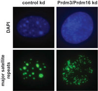 Figure 2: Impaired Prdm3/Prdm16 function disintegrates heterochromatic foci. DNA-FISH for major satellite repeats in wild-type iMEF cells upon control and Prdm3/Prdm16 double knock-down. DNA is shown in blue and DNA FISH signals in green.