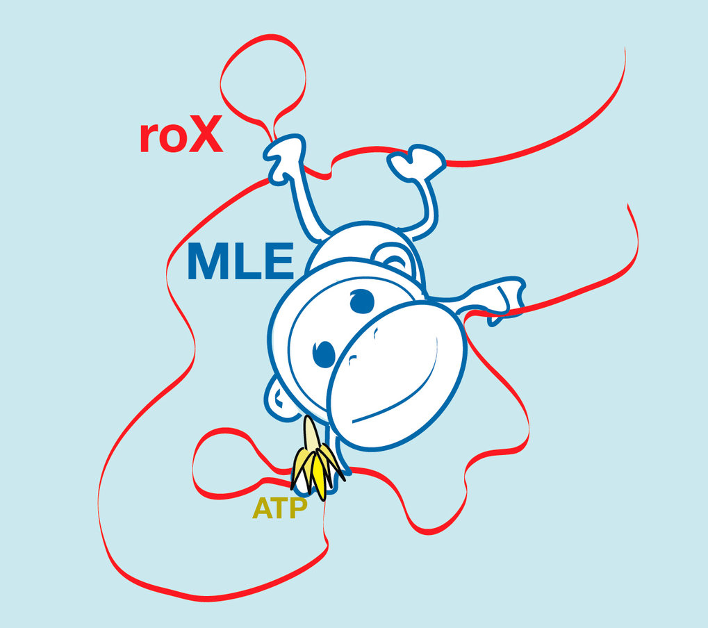 The protein MLE grabs the RNA strand like a monkey grabs a liana. One site serves as a simple anchor (feet), while the other is able to mould the strand. This consumes energy (banana). The moulded RNA allows other proteins to bind and thus to activate the X chromosome in male flies.