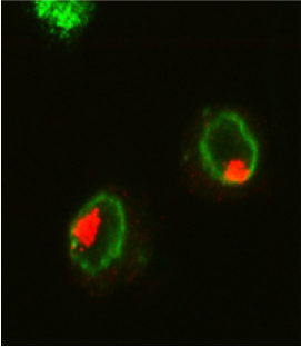 Order in the nucleus: red: staining of the MSL complex that bind the X chromosome, green: nuclear periphery.
