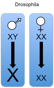 In male Drosophilas, the gene expression of the single X Chromosome is upregulated to get equal levels with female individuals.