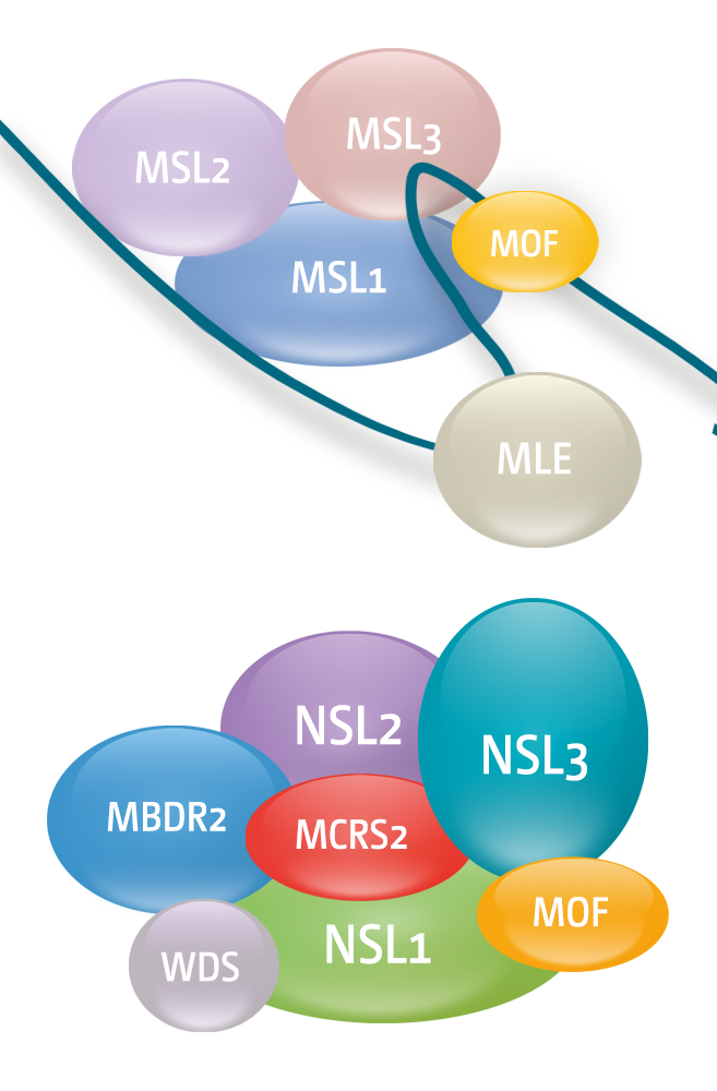 Figure 1: MOF histone acetyl transferase is part of two distinct multiprotein complexes Upper Panel: The Male-Specific-Lethal (MSL) complex in Drosophila, consisting of two non-coding RNAs and five proteins, is a key factor in regulation of the X chromosome by the process of dosage compensation. Lower Panel: The Non-Specific-Lethal (NSL) Complex binds to all chromosomes. It is enriched on promoter regions and is involved in the regulation of many housekeeping genes in Drosophila.