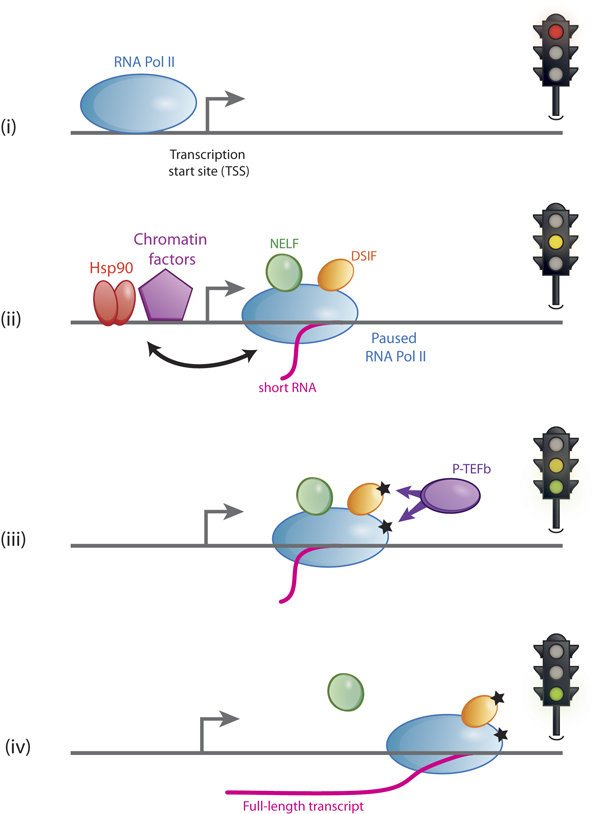 A cartoon depicting the process of RNA polymerase II pausing and elongation, analogous to traffic lights. Pol II pausing may influence promoter chromatin and vice versa [(ii)] in the figure], and the rules of this exciting communication are being unraveled. Picture adapted from Sawarkar and Paro (2013) Trends in Cell Biology.