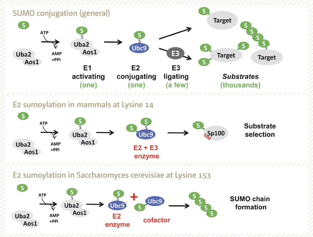 Figure 1 SUMO conjugation is regulated via E1, E2 and E3 enzymes (upper panel). E2 (Ubc9) sumoylation contributes to regulation of SUMO conjugation: in mammals Ubc9 is modified at Lysine 14 and this contributes to substrate selection (middle panel), in yeast Ubc9 is modified at Lysine 153, which inactivates the enzyme and turns it into a cofactor for SUMO chain assembly (lower panel).
