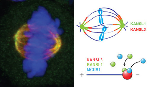 Fig 2: KANSL proteins, how NSL proteins are called in mammals, localize to the poles of the mitotic spinde. Left panel: Immunofluorescence of the mitotic spindle. KANSL3 is shown in green, tubulin in red and DNA in blue. Overlaps between red and green appears as yellow. Right Panel: Schematic representation of KANSL proteins on the mitotic spindle (upper half) and microbules.