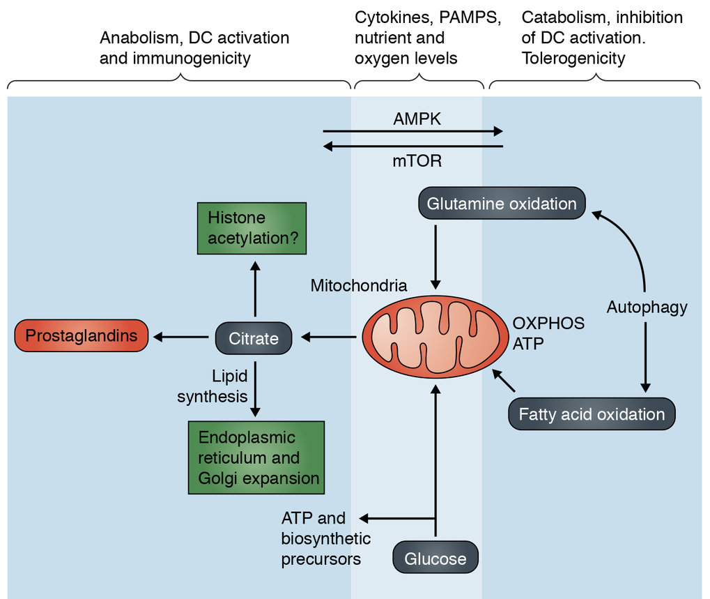 <strong>Anabolic metabolism vs catabolic metabolism and the control of dendritic cell immunogenicity vs. tolerogenicity.</strong>  PRR agonists, cytokines and nutrient and O2 levels can influence the balance of anabolic to catabolic metabolism, as shown.  mTOR and AMPK are important regulators of this metabolic balance and their activation states are highly responsive to a broad array of intracelllar and extracellular signals. Glycolysis coupled to the TCA cycle and citrate export from mitochondria supports an array of biosynthetic processes that are critical for DC activation. In contrast, autophagy and the oxidation of fatty acids and glutamine can create a state in which DCs are tolerogenic.