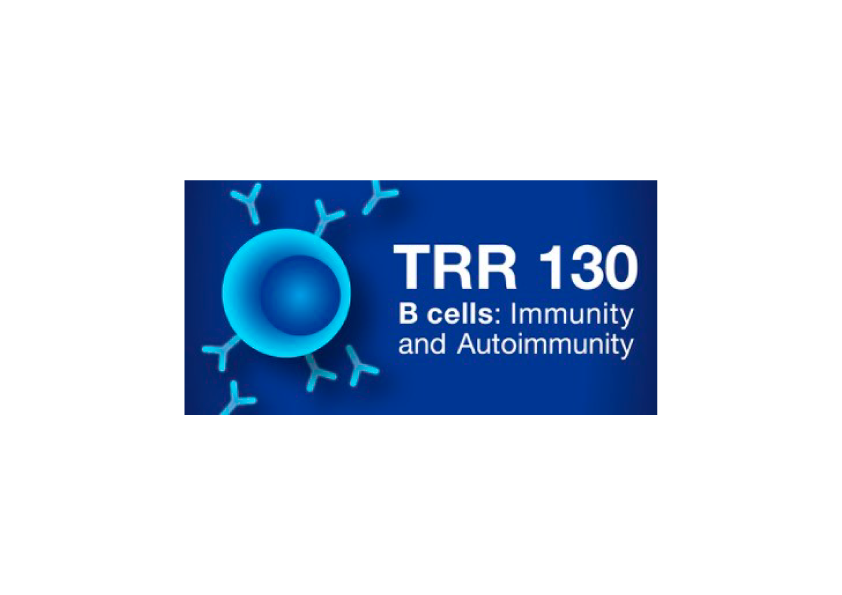 The TRR 130 »B Cells: Immunity and Autoimmunity« examine how B cells are activated, how they differentiate and how plasma cells manage to produce high affinity antibodies for long periods of time. More precisely the research consortium elucidates in detail how B cell responses are triggered, how self-reactive B cells are eliminated and how B cells learn to remember pathogens with which they have been challenged before. DFG GEPRIS database   Investigators: Hassan Jumaa, Michael Reth, Julia Jellusofa