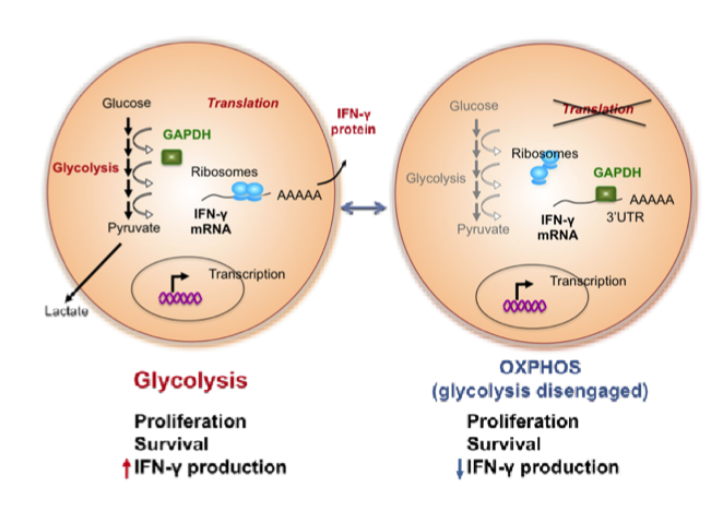 Figure 1 The metabolic enzyme GAPDH, by engaging /disengaging in the glycolysis pathway, specifically controls cytokine production in effector T cells in a posttranscriptional manner. We are interested in determining how bifunctional metabolic enzymes connect metabolism and gene regulation in T cells.