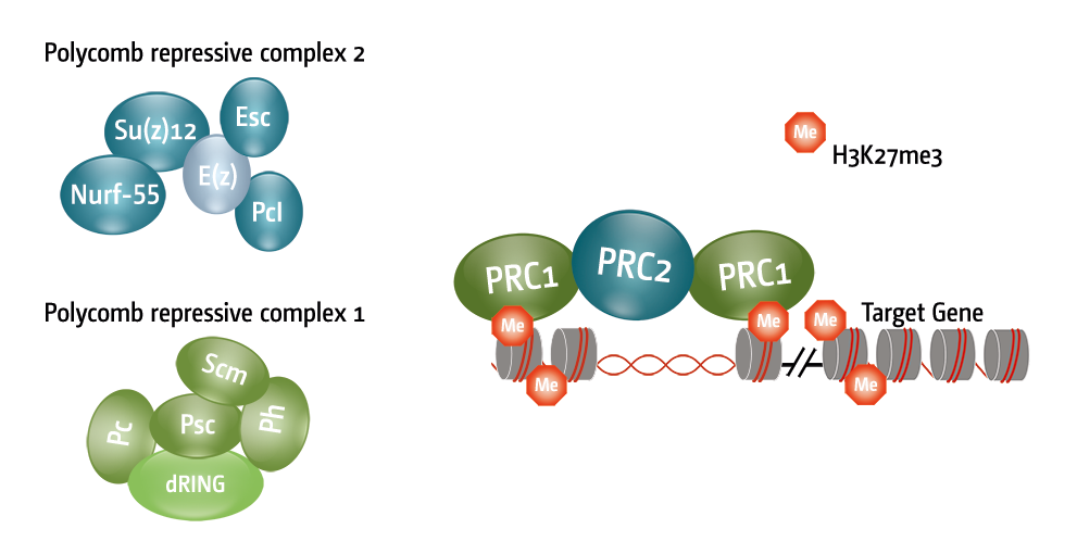 Figure 2 Schematic representation of the Polycomb repressive complex 1 and 2 (PRC1/2) with the respective subunits.