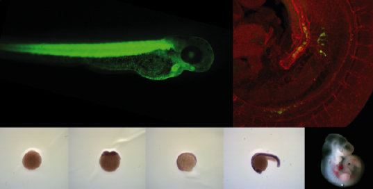 Figure 1: Different model organisms help to answer complex questions. In this figure zebrafish and mouse embryos are used to study hematopoiesis.