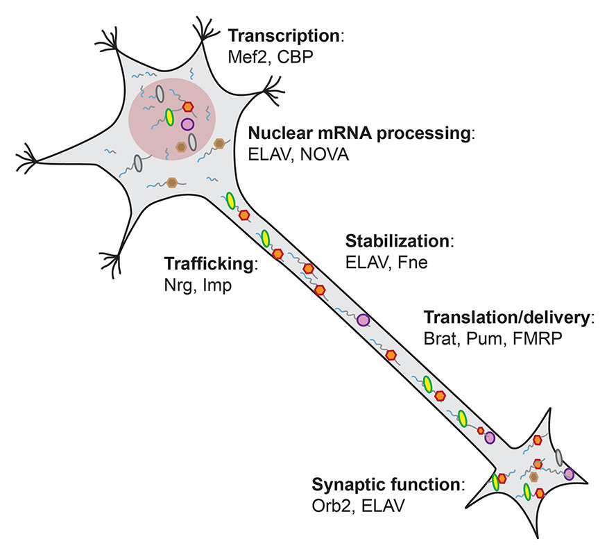 A network of crossregulation at play in neuronal mRNA processingTranscripts with alternative, extended 3' UTRs are specifically expressed in neurons, and typically encode important effector proteins of various steps of mRNA metabolism (a few examples are represented).