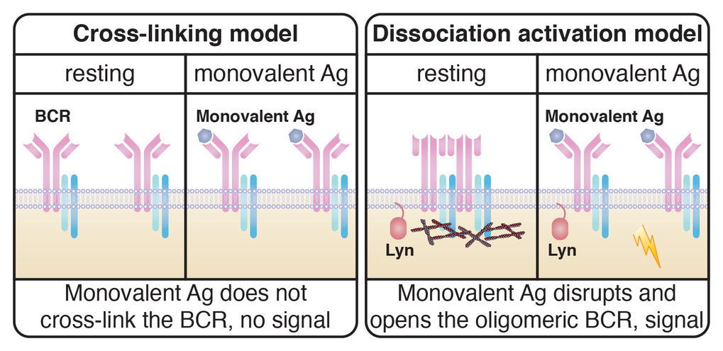 The two models of receptor activation in B cells at a glance Left: The cross-linking model does not explain how cross-linking activates the B-cell receptors after the binding of monovalent antigens. Right: The dissociation-activation model by Yang and Reth (2010) assumes that after binding of monovalent antigens, a specific arrangement of B-cell receptors is disrupted and leads to the opening and activation of the receptor. The study by Volkmann et al. (2016) also concluded that the opening of the receptor by monovalent antibody fragments requires the presence and activity of the protein Lyn.