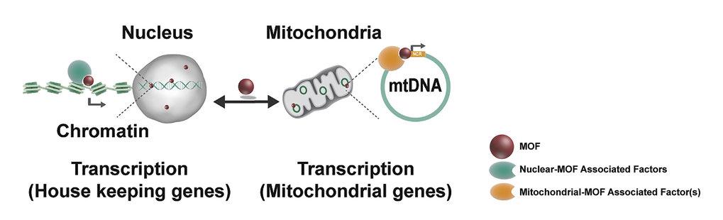 The enzyme MOF not only controls gene regulation in the nucleus, but also genes of mitochondrial DNA (mtDNA), which are part of core metabolic pathways for energy production.