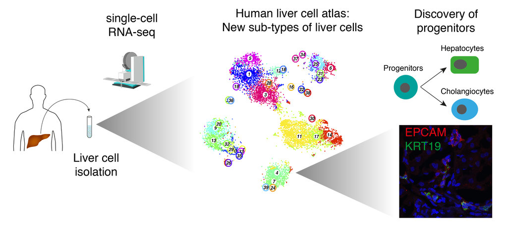 Single cells were isolated from liver tissue derived from 9 different patients to perform single-cell RNA-sequencing. After applying computational single-cell analysis methods, a human liver cell atlas, or cell type map, was established, enabling the identification of previously unknown sub-types (depicted as clusters represented by numbers on the map). We discovered rare sub-types of bile duct cells in the liver, which include a population of liver epithelial progenitors that can give rise to organoids capable of developing into hepatocytes or bile duct cells.