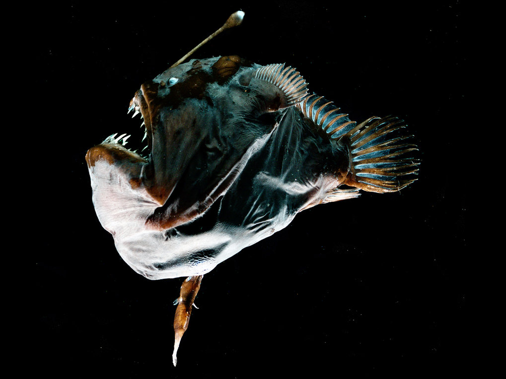 Deep-sea anglerfishes have evolved a new type of immune system