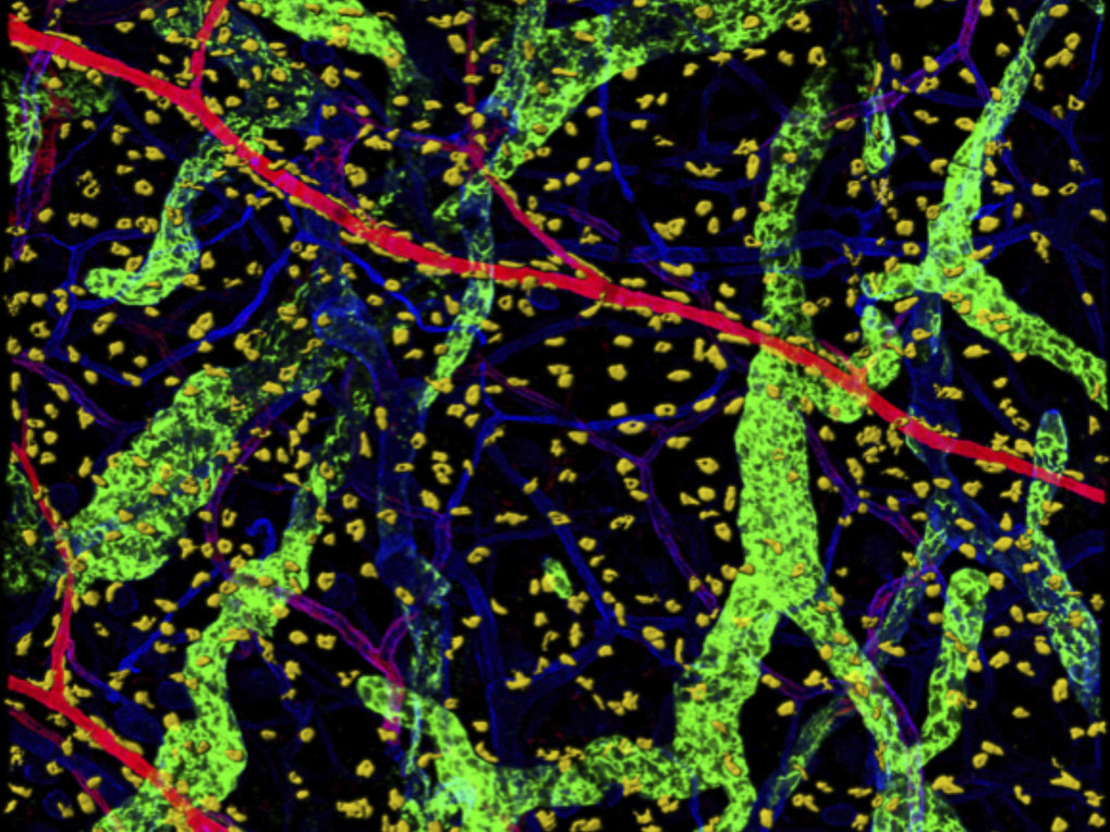 Tissue-resident mast cells (yellow) are abundant in the mouse skin, where individual cells distribute homogeneously throughout the dermis, localizing in the interstitial space between lymphatic vessels (green) and various blood vessel types (blue, red).