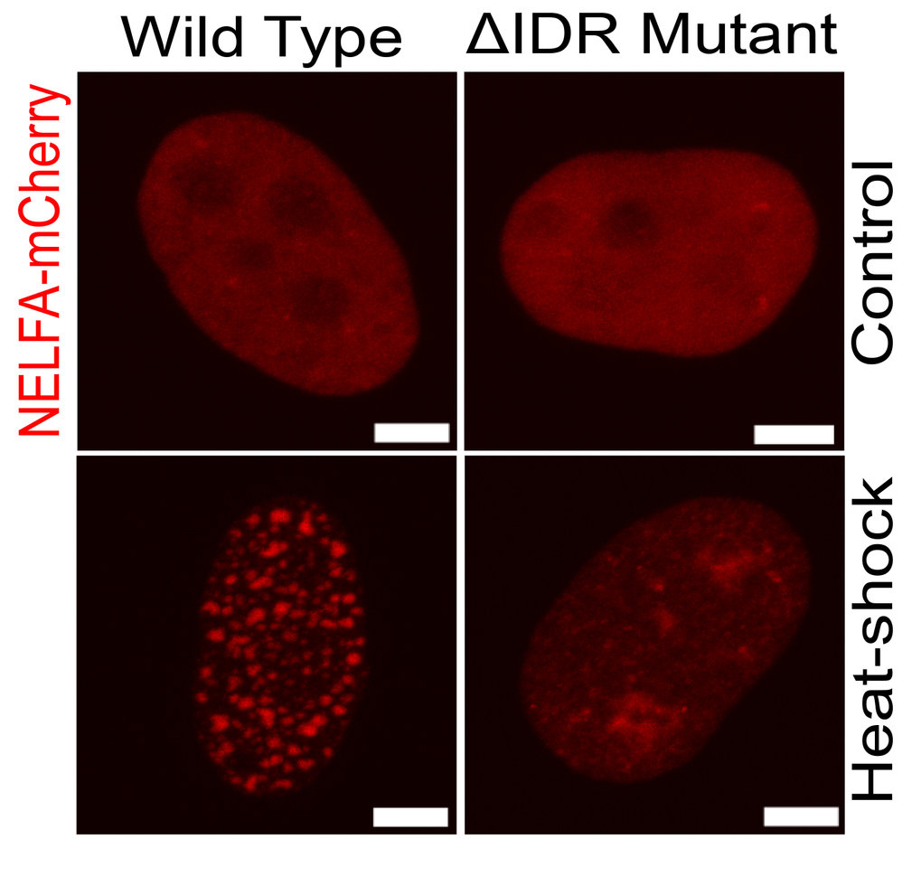 High-resolution confocal microscopy images of mCherry tagged NELF-A protein (red) in human HeLa cells. The wild-type NELF-A protein forms stress-induced condensates upon heat-shock (left) whereas protein lacking IDR region fails to form these condensates (right). Scale bar: 5μm.